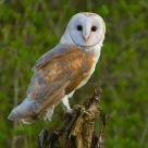 Barn Owl, a once in a life time opportunity.