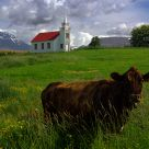 Cow and church