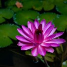 Color of lotus
