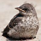 Mockingbird Chick