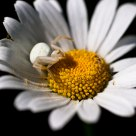 Crab Spider On Daisy
