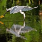 Egret Dipping