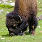 Buffalo at lunch