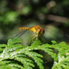 August Dragonfly