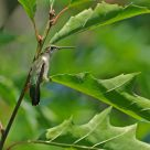 A Hummingbird's unusual resting time