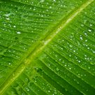 Large leaf after rain