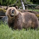 Female Coastal Grizzly eating Sedge Grass