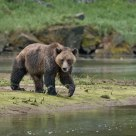 Coastal Grizzly in River Estuary