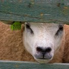 Sad Sheep