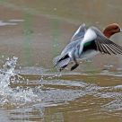 wigeon taking off