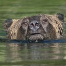 Male Grizzly Bear Swimming