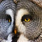 European Great Grey Owl
