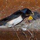 Feeding barnswallow