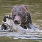 Adult Grizzly Bear with Large Chinook Salmon