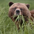 Female Grizzly Bear Eating Sedge Grass