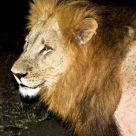 Lion with flash at 10-15 feet