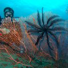 Feather stars and sea-fan
