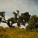 The Holm Oak