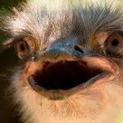 Angry ostrich