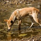 Dingo at the Waterhole