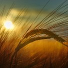 Barley at Sunset