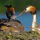 grebes feeding their young at the nest