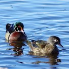 spring wood ducks