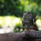 Tiny Florida Owl