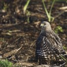 Young Cooper's Hawk hunting from the ground / Épervier de Cooper juvénile chassant au sol