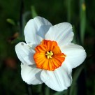 Orange and White Daffodil