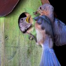 Bluebird Feeding the Kids