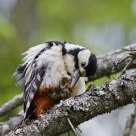 Must take care of myself as well ! Dendrocopos major / Great Spotted Woodpecker