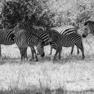 Zebras Chill In the Shade