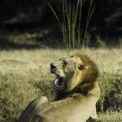 Male Lion Cleans Up