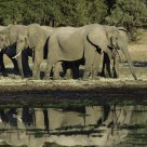 A Parade of Elephants near the water at Chendini bush camp