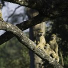 Yellow Baboons Watching