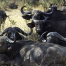 Cape Buffalo at Rest