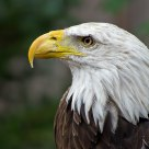 Anerican Bald Eagle