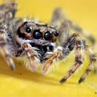 Jumping Spider -02