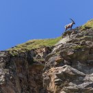 An ibex over there, did you see?