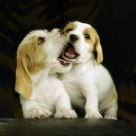 Deux Chiots jouer ( Two playing PBGV puppies).