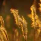 shined dog-tail grass in the twilight