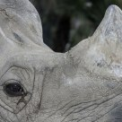 Great One-horned Rhino