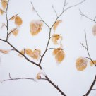 Autumn leaves in the winter snow