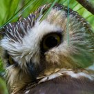 Northern Saw Whet Owl Portrait