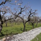 Drywall and Almonds Orchard in Valle D'Itria