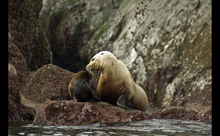 Stellar Sea lion mother and pup