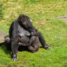 Gorilla's - Mother with child