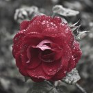 Symbolic Rose - Summers Rain