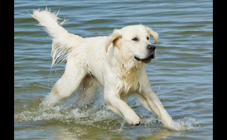 Young Retriever playing